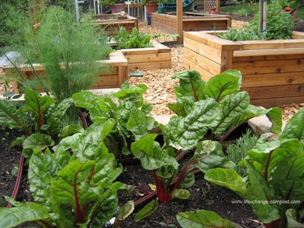 planter-boxes-with-swiss-chard-watermarked-600x450