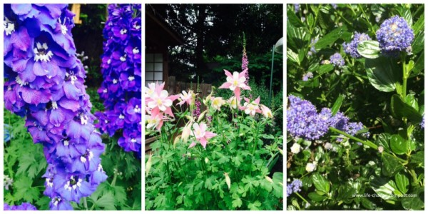 Collage of flowers from gardens - delphinium, columbine and ceanothus